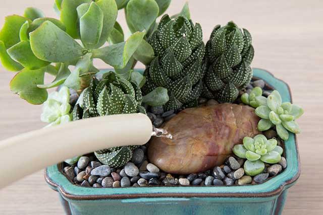Cách trồng cây sen đá cần đươc tưới nước đầy đủ