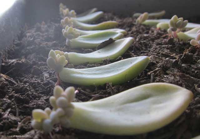 Cách trồng sen đá từ lá xếp thẳng hàng