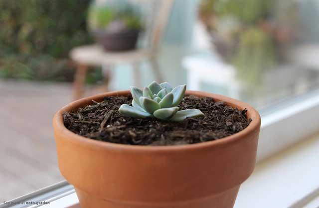 Một cây sen đá khỏe mạnh tiếp tục phát triển