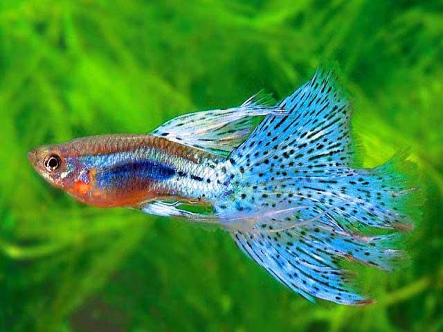 Cách lai tạo cá bảy màu đơn giản hơn bạn nghĩ