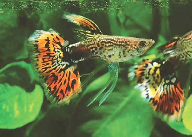 Cá bảy màu ăn rồng gì ?