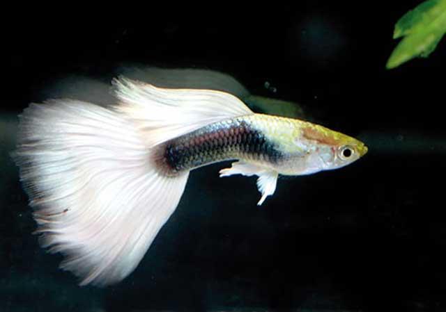 Kỹ thuật nuôi cá bảy màu