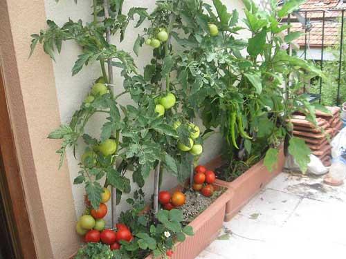 Cách trồng cà chua trong chậu
