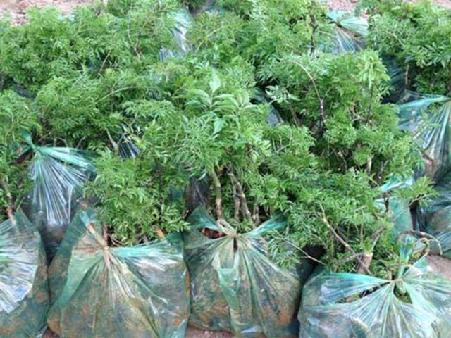 cách trồng cây đinh lăng lấy củ
