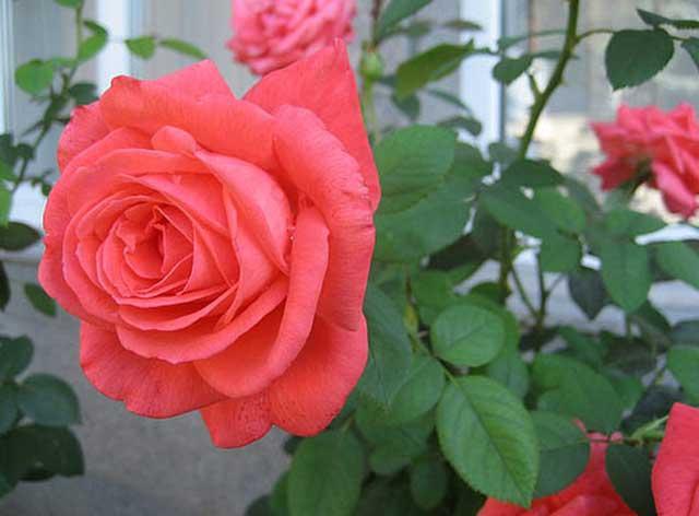 Kỹ thuật trồng hoa hồng trong chậu