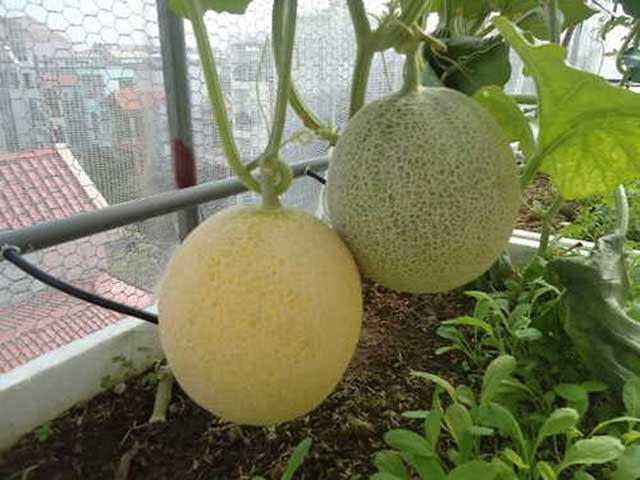 Cách trồng dưa lưới cho ra quả có chất lượng sạch - đảm bảo