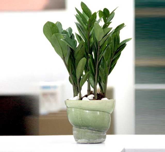Mua cây kim tiền về trồng giúp điều hòa không khí