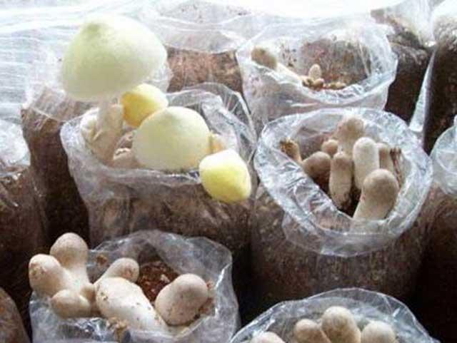 Cách trồng nấm rơm tại nhà tại nhà đạt năng suất cao