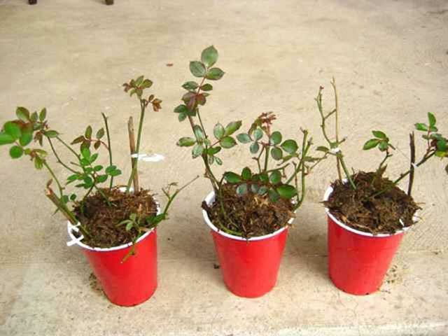 Cách trồng hoa hồng để cây luôn xanh tốt