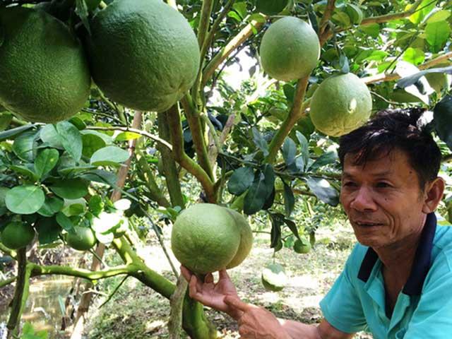 Cách trồng bưởi da xanh cho thu nhập cao
