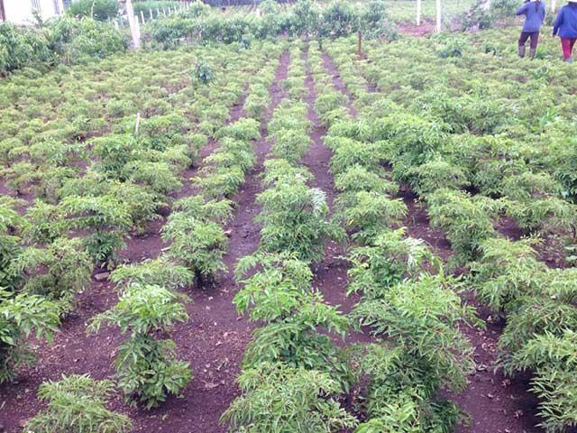 Cách trồng cây đinh lăng đạt hiệu quả kinh tế cao