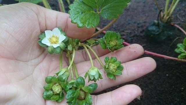 Cách chăm sóc dâu tây ở miền bắc cho ra hoa