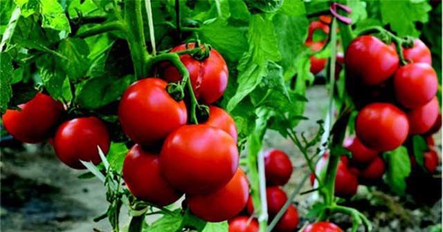 Cách chăm sóc cà chua cho quả chín mọng