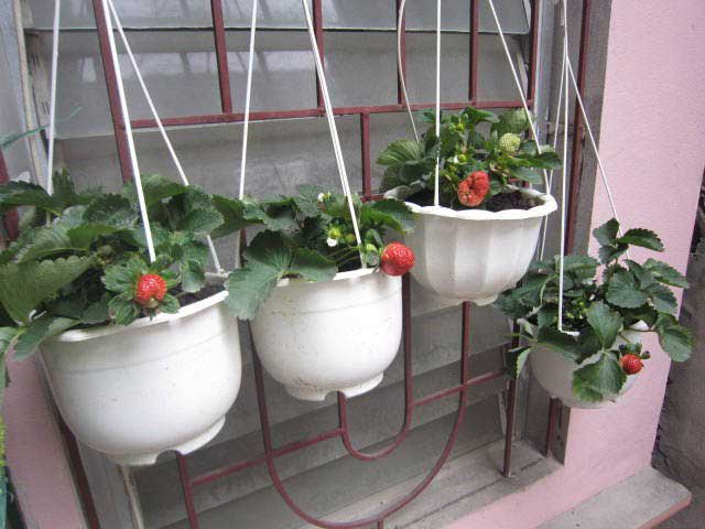 Kỹ thuật trồng dâu tây treo tại cửa sổ