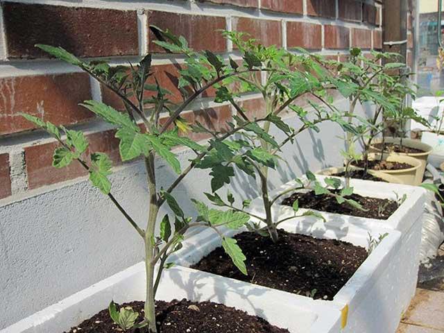 Kỹ thuật trồng cà chua trong thùng xốp