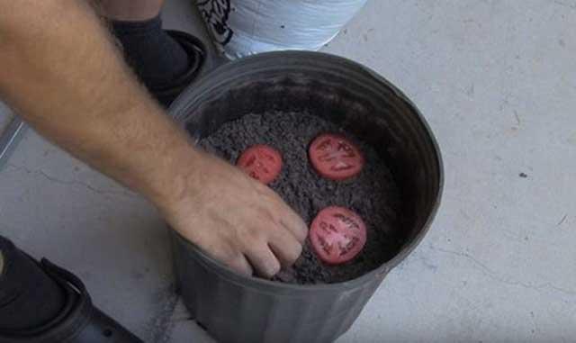 Đặt những miếng cà chua đã thái lát vào trong chậu ươm (đất tơi xốp, giàu chất dinh dưỡng).