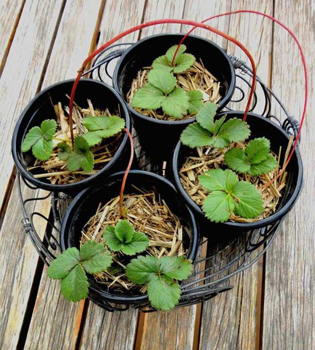 Kỹ thuật trồng dâu tây trong chậu đơn giản hơn bạn nghĩ