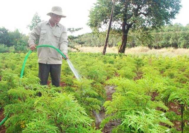 trồng và chăm sóc cây đinh lăng