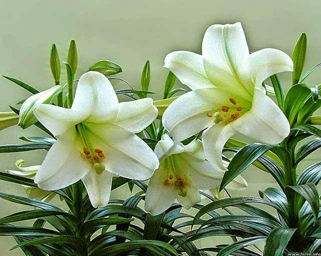 Kỹ thuật trồng hoa ly nở đẹp