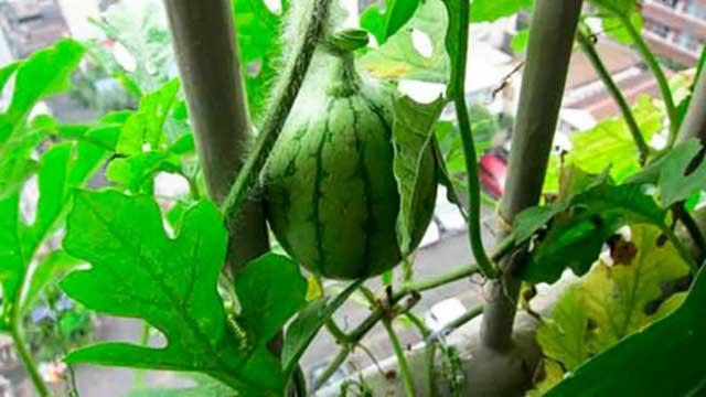 Kỹ thuật trồng dưa hấu sai quả