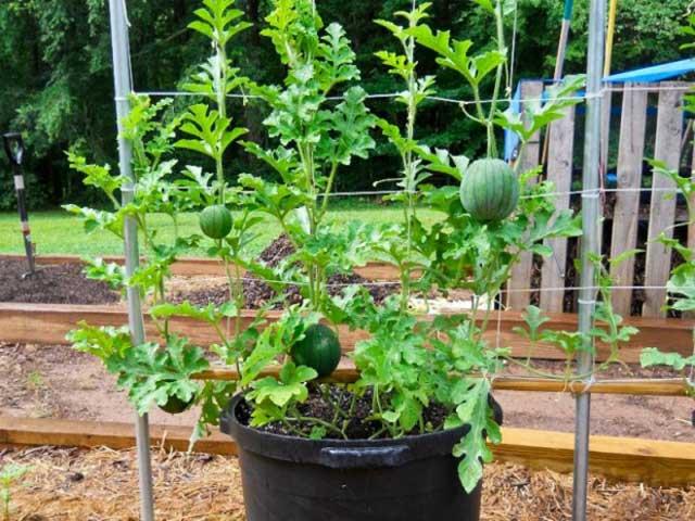 Cách trồng dưa hấu tại nhà