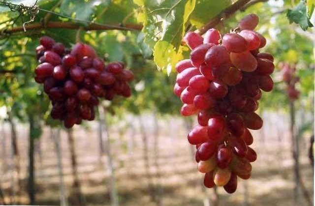 Phương pháp trồng nho Ninh Thuận