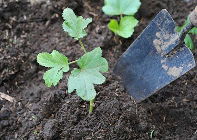 Trồng đậu bắp từ hạt hay cây con