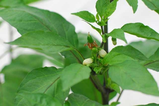 Cách trồng cây ớt cho ra hoa