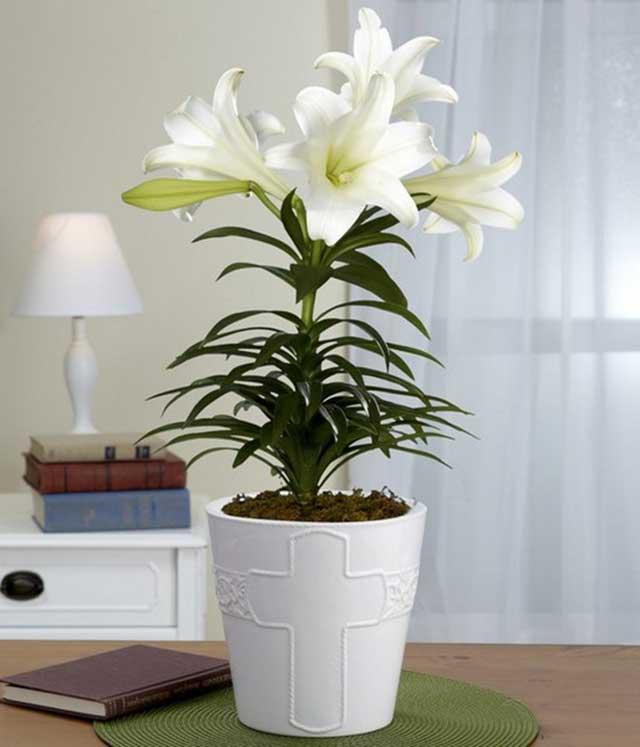 Cách trồng hoa ly trong chậu
