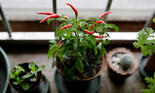 Ớt phát triển tốt từ cách gieo hạt ớt đơn giản