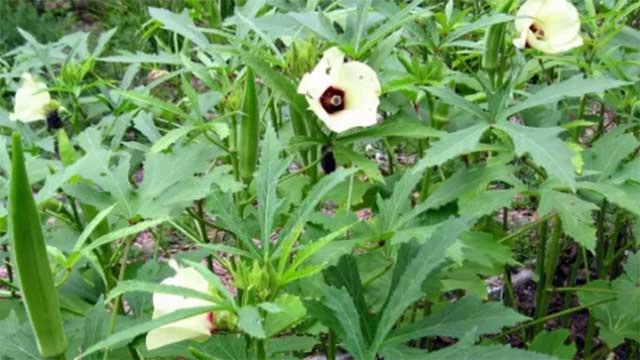 Vườn đậu bắp trên sân thượng