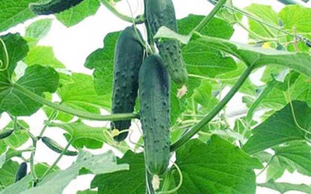 Nên trồng dưa chuột để đảm bảo an toàn thực phẩm