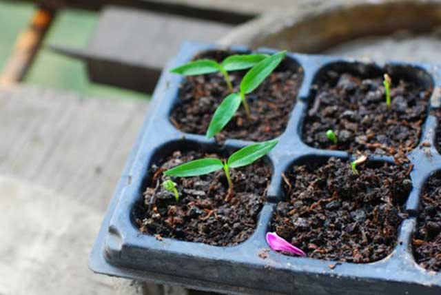 Cách trồng ớt từ cây con