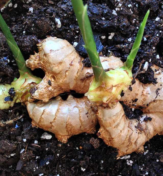 trồng gừng tại nhà cho cu to