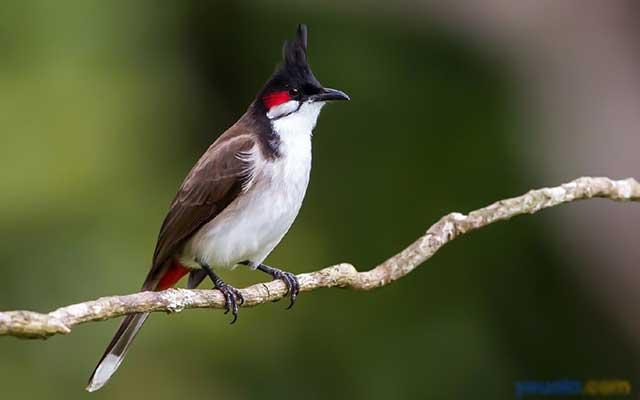 Chim chào mào ngoài tự nhiên