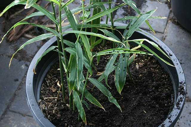 trồng gừng tại nhà