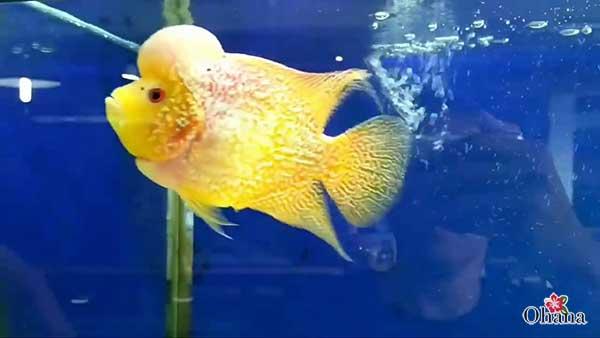 Cách nuôi cá La Hán