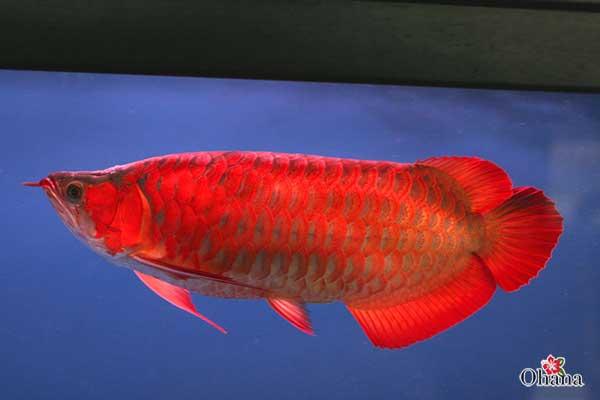 Cá rồng màu đỏ