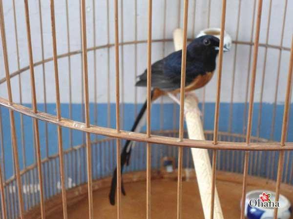 Kỹ thuật vào cám cho chim