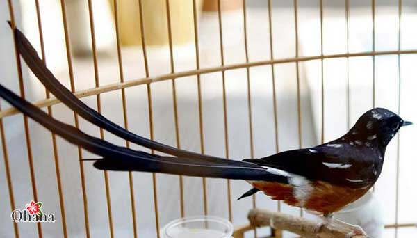 Cho chim tập quen với lồng nuôi