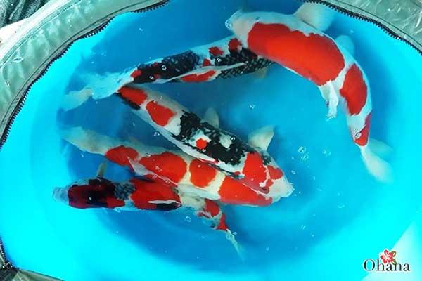Cá Koi được coi là quốc ngư của Nhật Bản