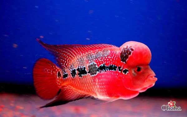 Cá La hán lên màu đẹp