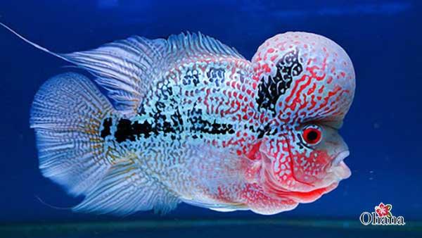 Cá La hán có nhiều ý nghĩa phong thủy