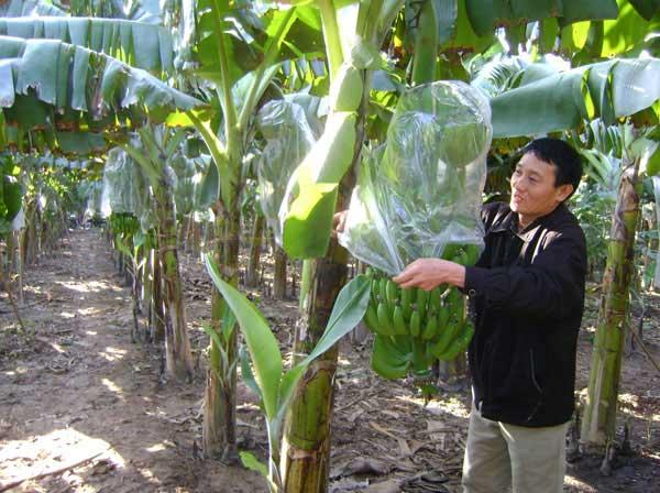 Thu hoạch và bảo quản chuối