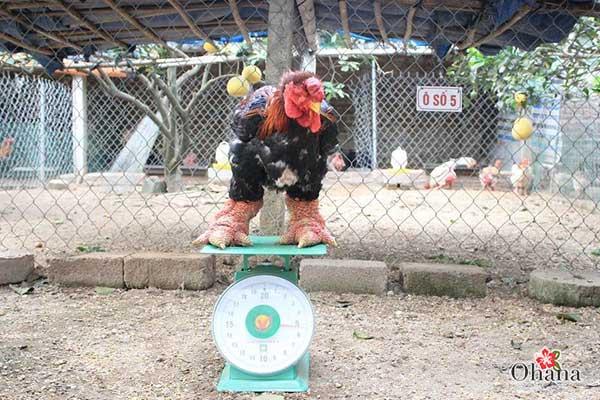 Thời kỳ gà sắp được xuất chuồng
