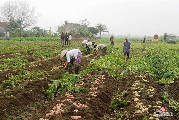 Tiến hành thu hoạch khoai tây