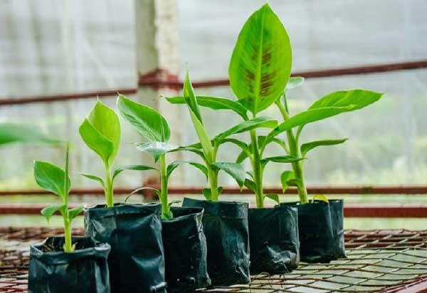 Kỹ thuật trồng chuối