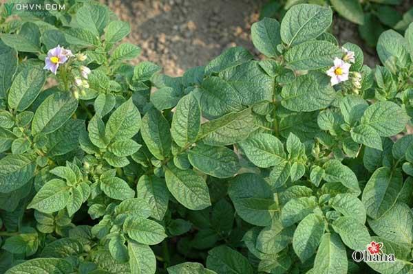 Tiến hành chăm sóc cho khoai tây sau khi trồng