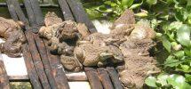 Kỹ thuật nuôi ếch