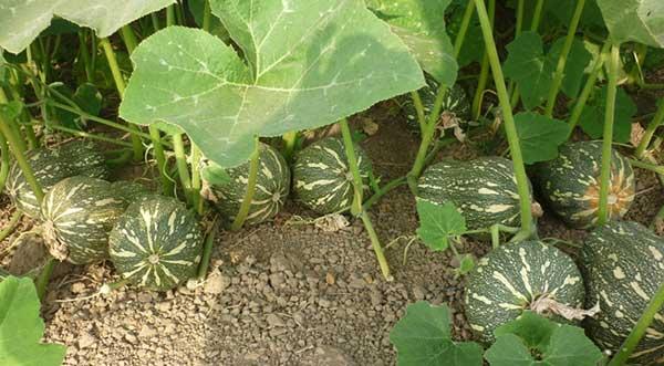 Đất trồng cần tơi xốp và giàu chất dinh dưỡng